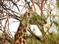 Giraffe-Hals-Lake-Nakuru