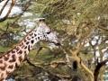 Giraffe-Portrait