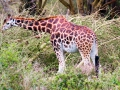 Giraffe-am-Lake-Nakuru