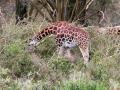 Giraffe-grasend-Lake-Nakuru