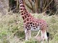 Lake-Nakuru-Giraffe-Portrait