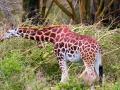 Wildtier-Giraffe-am-Lake-Nakuru
