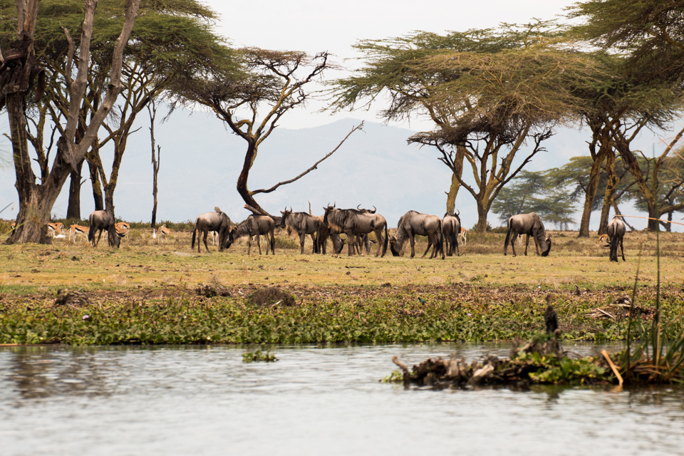 Gnu-mit-Gazelle-am-Ufer