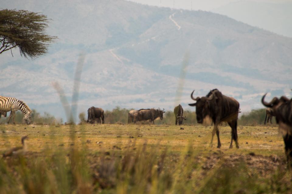 Gnu-und-Zebra-Afrika