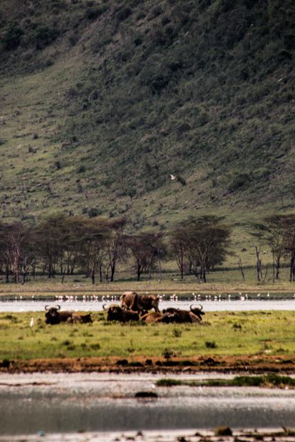 Gnuhorde-LakeNakuru-Gebirge