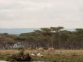 Zebra-Gnu-Baobab
