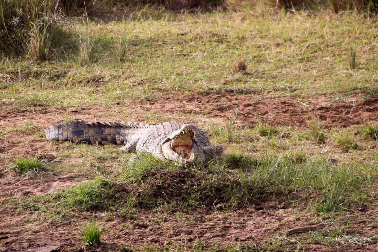 Krokodil (6)