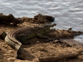 Krokodil (7)