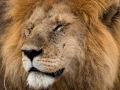Löwe (52)