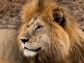 Löwe (53)