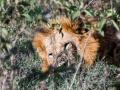 Löwe-im-Schatten-Mittagsruhe