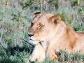 Einsame-Löwin-Afrika