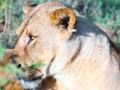 Löwin-auf-Lauer-Afrika