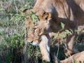 Löwin-auf-der-Jagd-Afrika