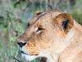 Löwin-ausgewachsen-LakeNakuru