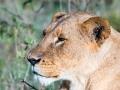 Löwin-ausgewachsen-in-Afrika