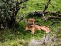 Löwin-gähnend-Afrika