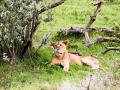 Löwin-im-Schatten-interessiert