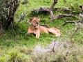 Löwin-im-Schatten-müde