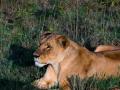 Löwin-in-der-Sonne-Afrika