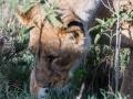Löwin-interessiert-LAke-Nakuru