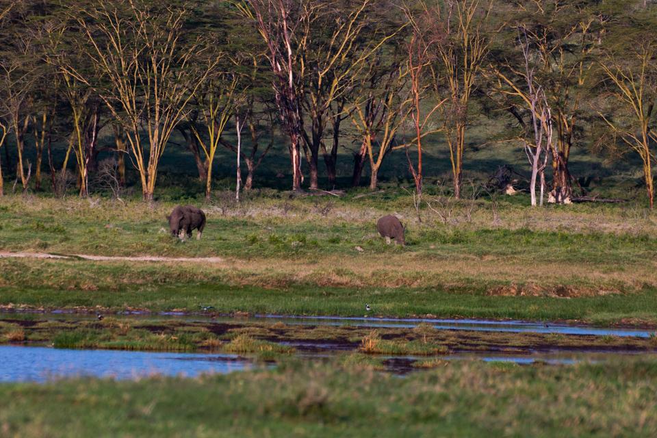 Graue-Nashörner-am-Ufer