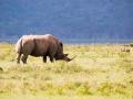Graues-Nashorn-Lake-Nakuru-Afrika