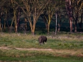 Graues-Nashorn-in-freier-Widbahn