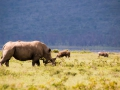 Nashornfamilie-am-LakeNakuru