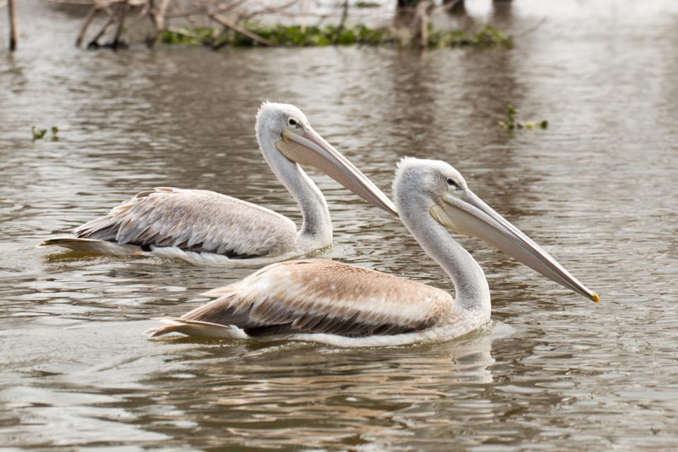 Zwei-Pelikane-Lake-Nakuru