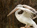 Pelikan-Portrait