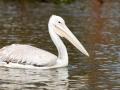 Pelikan-auf-Wasser-Afrika