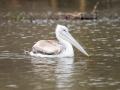 Pelikan-auf-Wasser