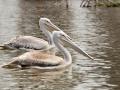 Zwei-Pelikane-Afrika