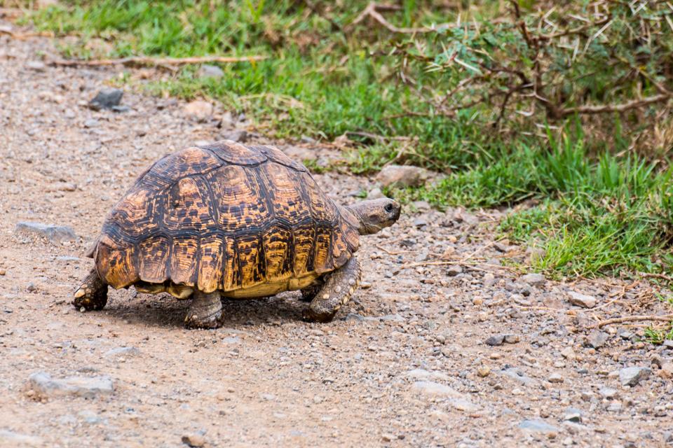 Schildkröte-Lake-Nakuru