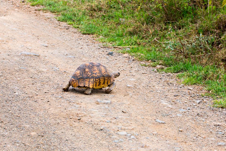 Schildkröte-auf-Straße