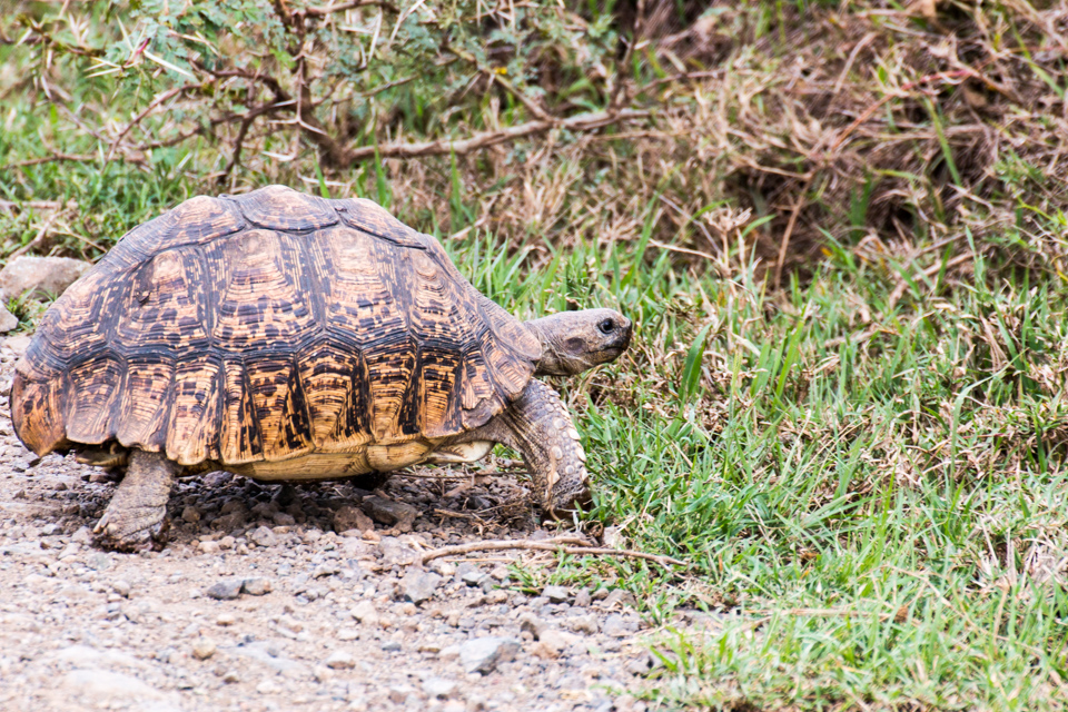 Wildtier-Schildkröte-Lake-Nakuru