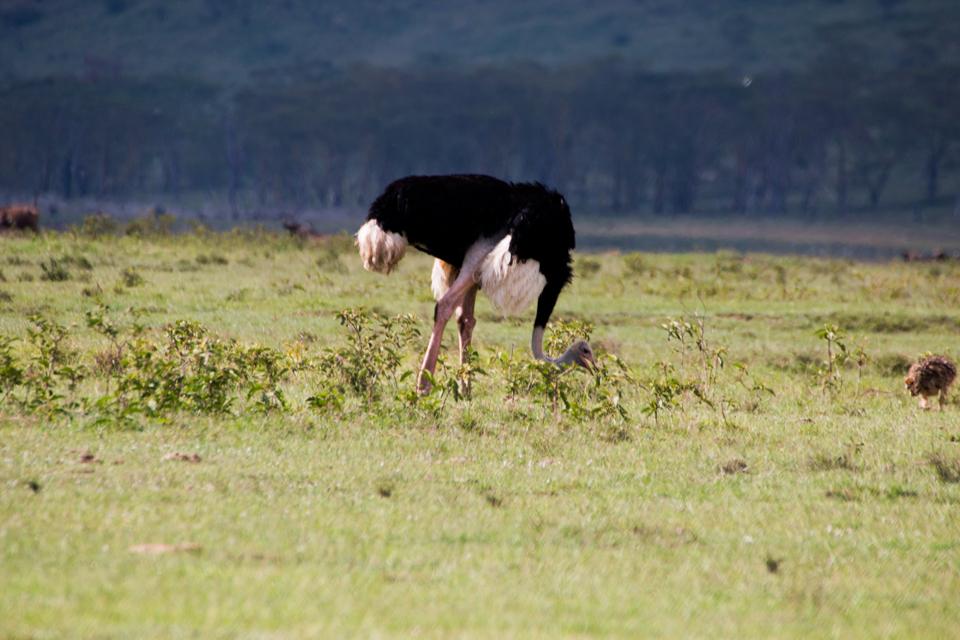 Strauß-grasend-Afrika