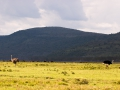 Pärchen-Strauße-Afrika-LAke-Nakuru