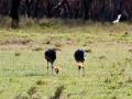 Paar-Kronenkranich-Afrika