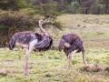Paar-Strauß-Afrika