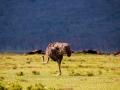 Strauß-Afrika