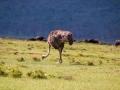Strauß-am-Lake-Nakuru-Afrika