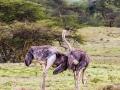 Straußenpärchen-einsam-in-Afrika