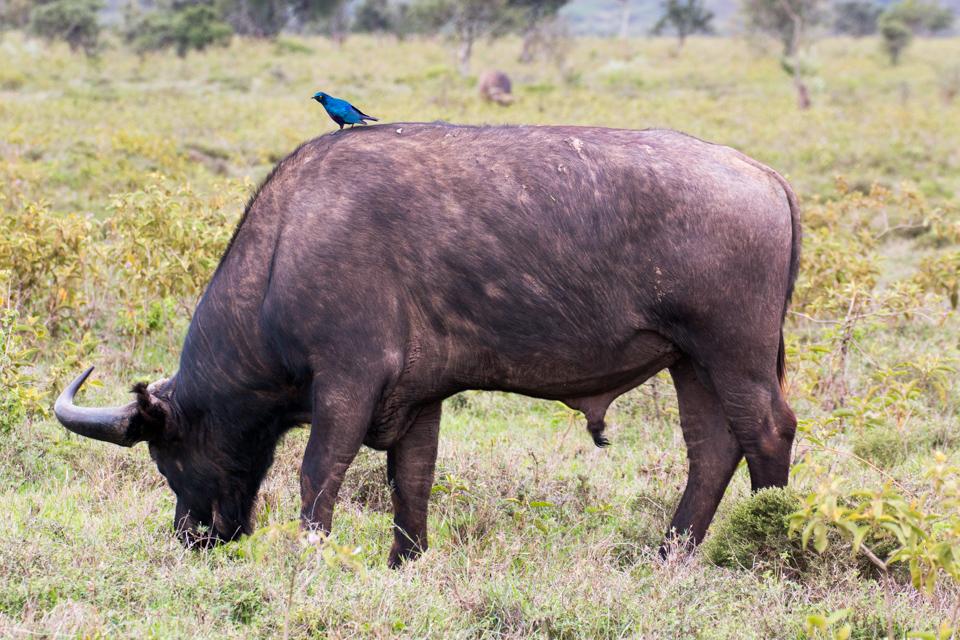 Blauer-Vogel-auf-Wasserbüffel