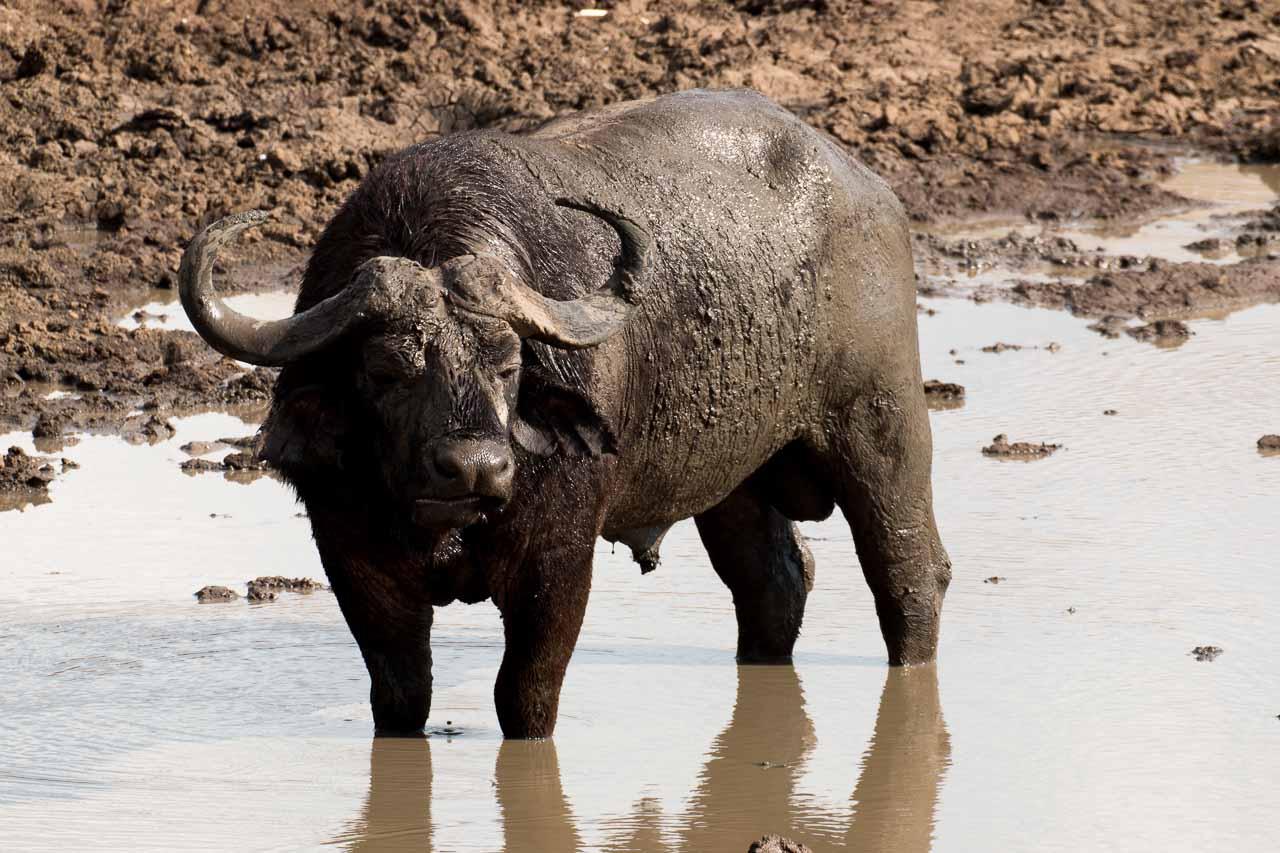 Wasserbüffel (18)