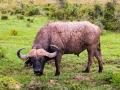 Einsamer-Wasserbüffel-verkrustet