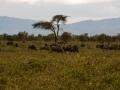 Horde-Wasserbüffel-Afrika