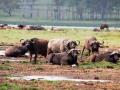Lake-Nakuru-Wasserbüffel