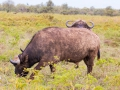 Prächen-Wasserbüffel